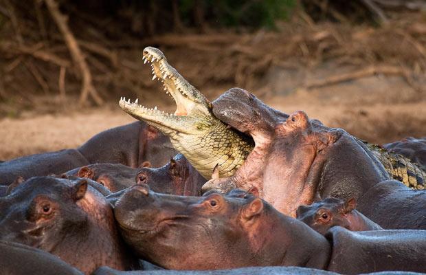 hippo-crocodile