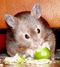 syrian_hamster
